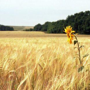 sunflower_net
